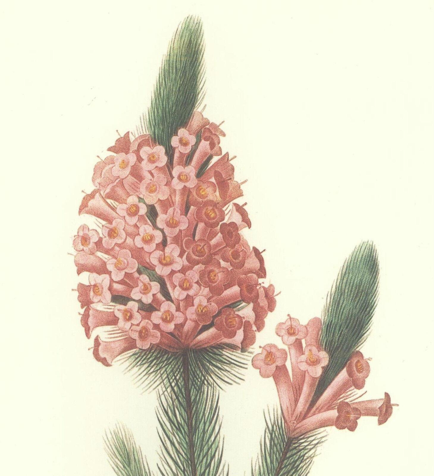 REDOUTE Botanical ERICA Flower PINK HEATHER Art #37