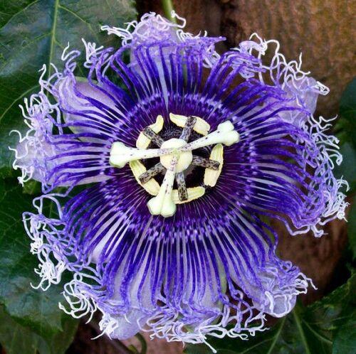 Hardy purple passion flower vine passiflora incarnata climbing vine hardy purple passion flower vine passiflora incarnata climbing mightylinksfo