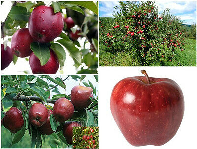 Red Delicious Apple - Starking variety - Apple Tree - 10+ fresh seeds
