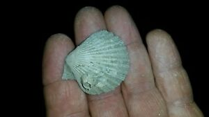 Chlamys-Azalea-Fossil-Miocene-Serravalien