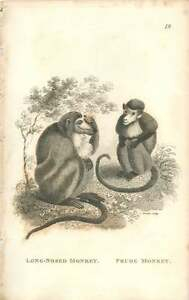 1800 Long Nosed Monkey And Prude Monkey Engraved Mammal Plate  Shaw - <span itemprop=availableAtOrFrom>Bishop Auckland, United Kingdom</span> - If for any reason you are not satisfied with your item, do let us know. If you wish to return it, you may, within 14 days, and we will issue you with a full refund. Most purchases - Bishop Auckland, United Kingdom
