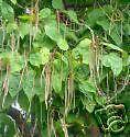 Catalpa bignoides SOUTHERN CATALPA TREE Seeds!