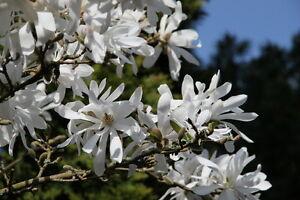 der-mehrjaehrige-Gartenpflanze-MAGNOLIE-eine-schoene-Zierpflanze