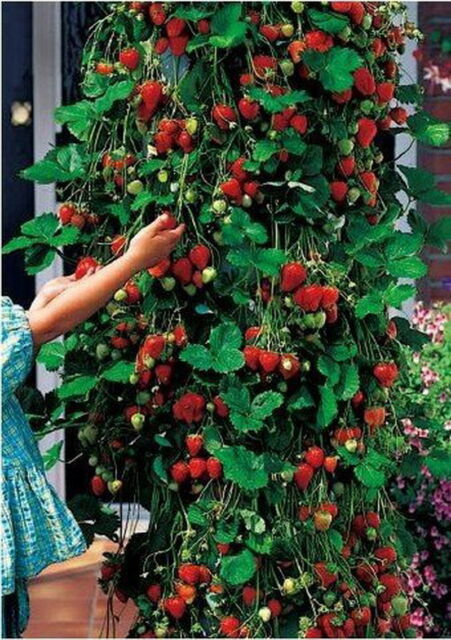 red 100pcs strawberry Climbing strawberry four season fruits seeds MGJB