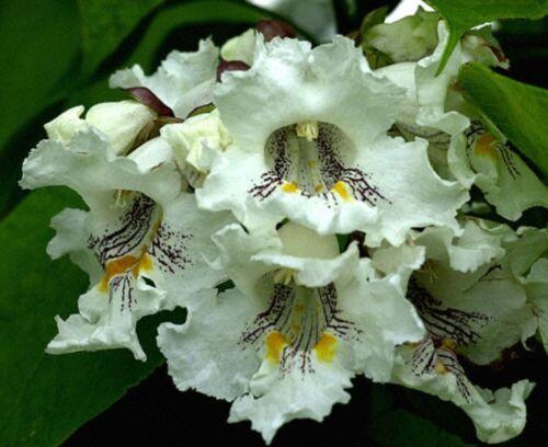 Northern Catalpa speciosa Fast, Showy, Hardy Tree Seeds, Catalpa