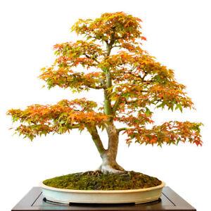Garten-Bonsai-der-Faecherahorn-winterharte-Bonsai-Art-Japanischer-Garten