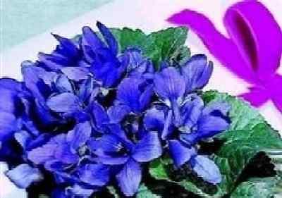 Flower - Viola odorata - Queen Charlotte - 60 Seed