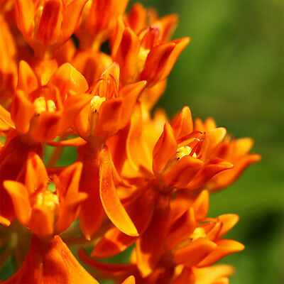 30Pcs ORANGE BUTTERFLY MILKWEED Asclepias Flower Seeds Home Garden Decor View