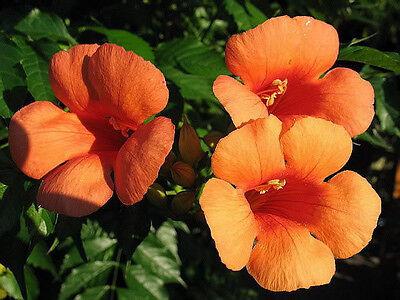 25 HUMMINGBIRD TRUMPET CREEPER VINE Campsis Radicans Flower Seeds +Gift & CombSH