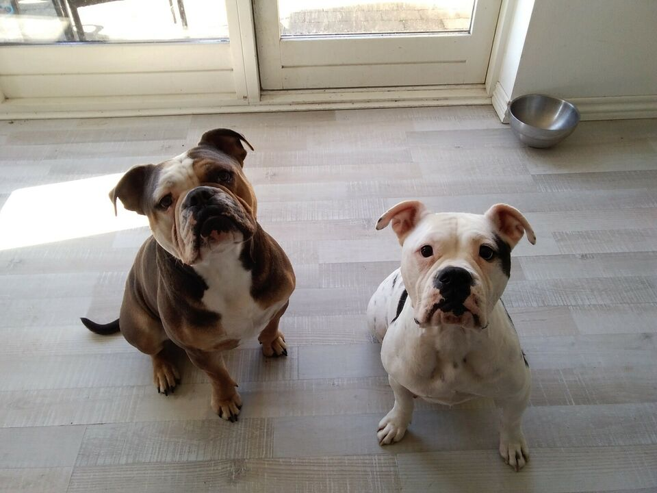 Old English Bulldogs , hvalpe, 4 uger