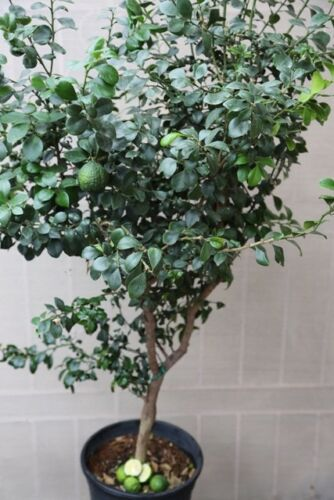 """AUSTRALIAN NATIVE CITRUS /""""ROUND LIME-DWARF/"""" GRAFTED PLANT RARE OPPORTUNITY"""