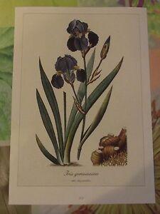 """Ancienne Planche Botanique d'après Gaston Bonnier Iris des Jardins - France - Commentaires du vendeur : """"Ancienne Planche Botanique d'aprs Gaston Bonnier"""" - France"""
