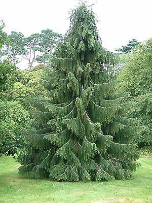 Himalayan Spruce, Picea smithiana, (Morinda Spruce), Tree Seeds (Evergreen)