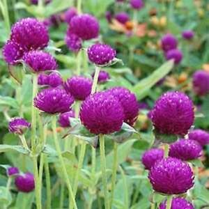 Gomphrena-Globosa-Purple-50-Seeds-BOGO-50-off-SALE
