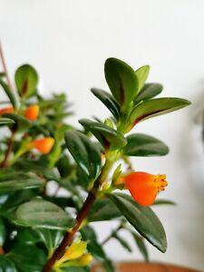 Hypocyrta-Glabra-Nematanthus-Goldfish-Plant-1x-Cutting-Cuttings-Tropical-Rare