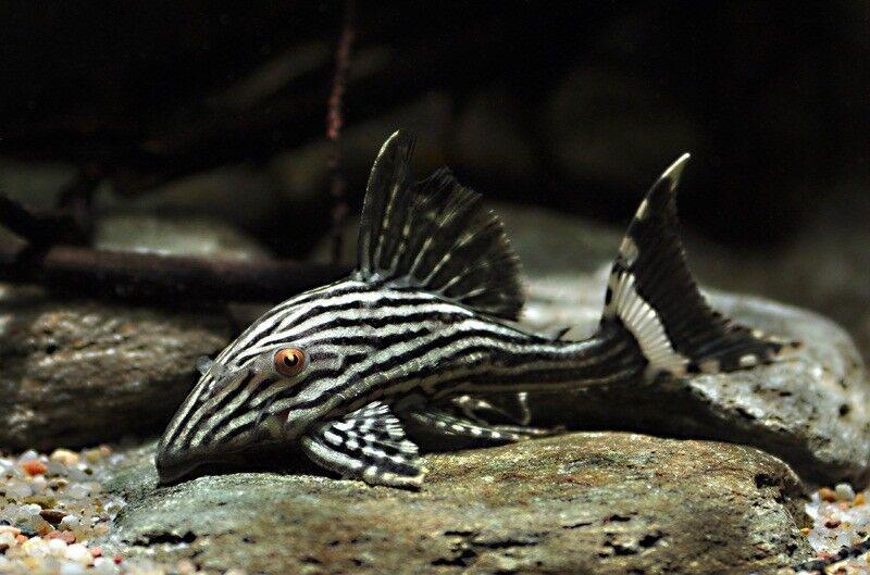 Panaque nigrolineatus L190 (Royal Pleco, L-numero, pesce gatto)