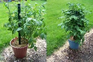 VEGETABLE-TOMATO-GARTENPERLE-IDEAL-FOR-SMALL-SPACES-200-SEEDS