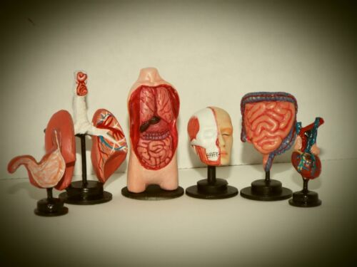 Doll miniature handcrafted stomach model hospital medical exam 1//12th scale
