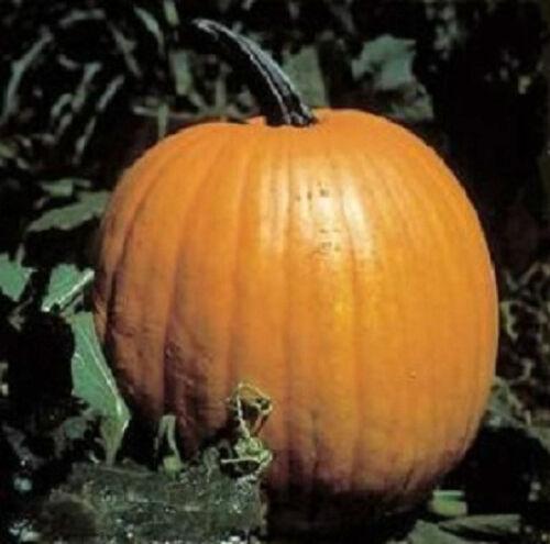 50 Connecticut Field Pumpkin Seeds