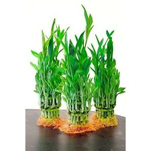 lucky bamboo plant top quality feng shui 5 pound pack of 3 indoor houseplant ebay. Black Bedroom Furniture Sets. Home Design Ideas
