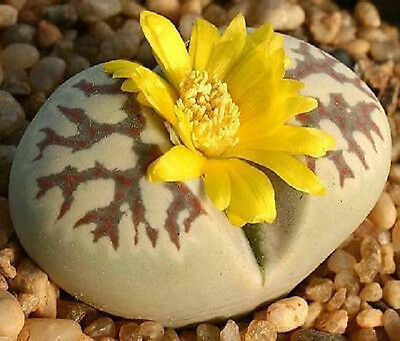 Lithops dorotheae, living stone rock plant bonsai cacti succulent seed 50 SEEDS
