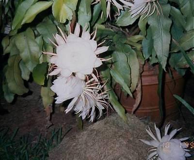 """8/"""" 3 Cuttings EPIPHYLLUM Orchid Cactus Queen of the Night Oxypetalum Cereus 6/"""""""