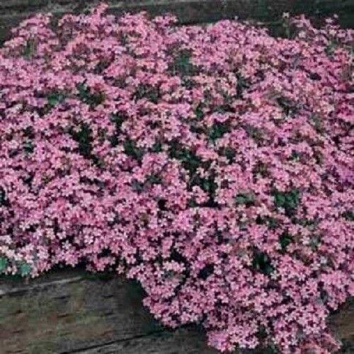 500 Pink ROCK SOAPWORT Saponaria Ocymoides Flower Seeds