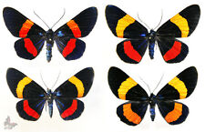 Milionia drucei,good A-,1pc ,Unmounted butterfly