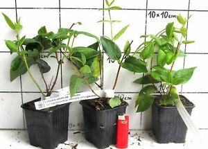 Lonicera-similis-delavayi-Immergruenes-schlingendes-Geissblatt-Pflanze