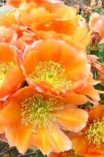 Winter Hardy Opuntia Prickly Pear Cactus Var Orangeade!!!