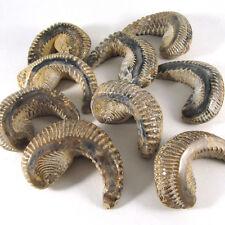 NEW!! Zigzag oyster (Lopha/Alectryonia), Polished, 1 piece - Madagascar EZIG001