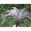 Wholesale-10-2000-Pcs-Beautiful-Rooster-Tail-Feathers-12-14-Inches-30-35cm thumbnail 6