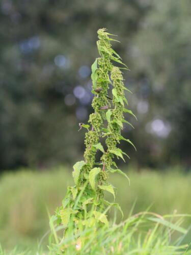 Urtica Dioica 3000 Stinging Nettle Seeds Deer Resistant Medicinal Plant