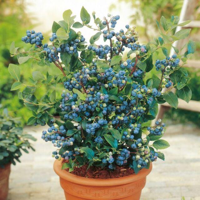 100 Top Hat Dwarf Lowbush Blueberry Plant Seeds Organic Fruit