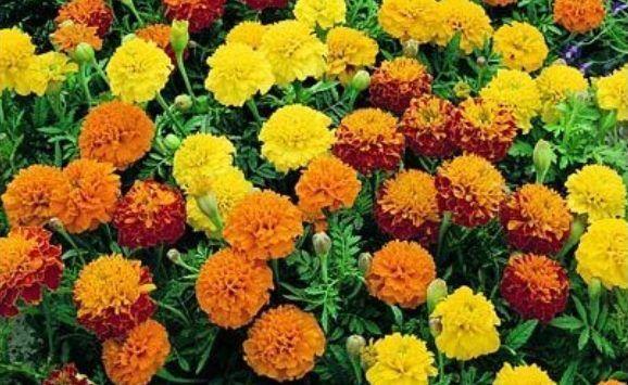 FLOWER MARIGOLD DWARF FRENCH PETITE MIX 400 FLOWER SEEDS