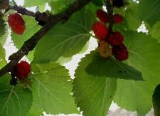 MORUS NIGRA- FRUIT TREES 50 seeds