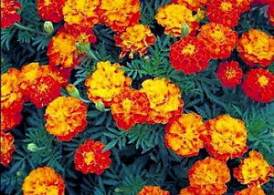 Mixed Marigold Seeds, Sparky Mix, French Marigolds, Bulk Seeds, Heirloom 500ct
