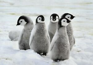 A1-Emperor-Penguin-Chicks-Snow-Poster-Artwork-Print-60-x-90cm-180gsm-Gift-13280