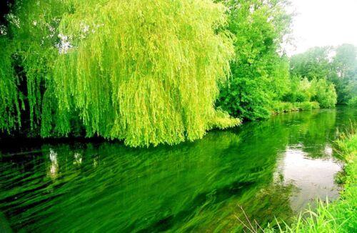 WILLOW GRUB MAGGOT TROUT FLY FISHING FLIES WILLOW GREEN 12 FLIES X SIZE #12
