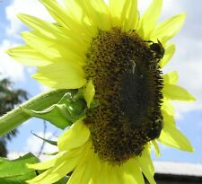 25 Lemon Queen Sunflower Seeds Attract Bees Great Sunflower Project  Helianthus