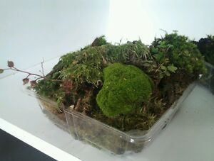Bonsai Terrarium Moss 1kg Large Fresh Tasmanian Forest Moss Ebay