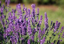 Echter Lavendel - 2.000 Samen - Lavandula Angustifolia - Heilpflanze , Gewürz ,
