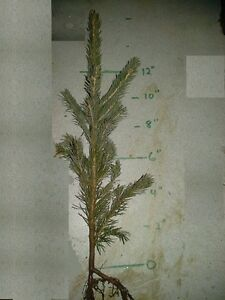 COLORADO-BLUE-SPRUCE-5-034-10-034-or-11-034-17-034-or-18-034-24-034-Transplants-Ships-fall-2019