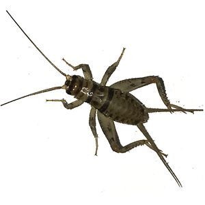 100, 250, 500, 1000+ Live Crickets (Banded) - Starting 100/$14.99 - 250/$15.99