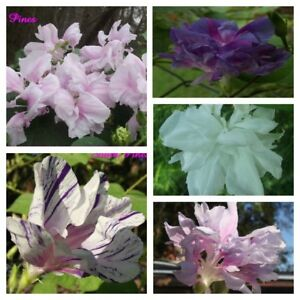 HIGE-Mixed-Variety-Pack-Pom-pom-Feathered-Morning-Glory-12-seeds-limit