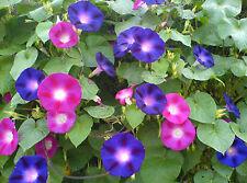 MORNING GLORY FLOWER SEEDS - MIX *****