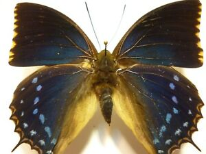 Real Butterfly/Insect Set/Spread B4292 Bright blue Charaxes tiridates 9 cm