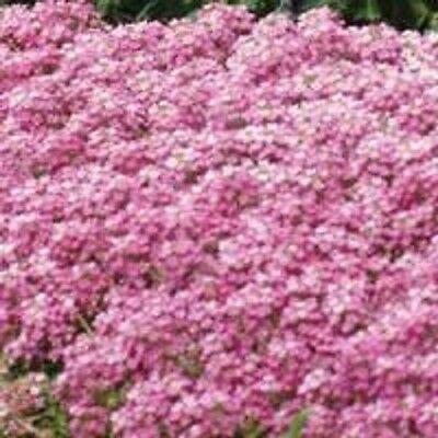 60+ PINK SWEET FRAGRANT ALYSSUM FLOWER SEED PERENNIAL / GROUND COVER