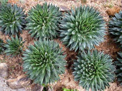 Aloe aristata lace aloe plant rooted plant in 6cm bio pot