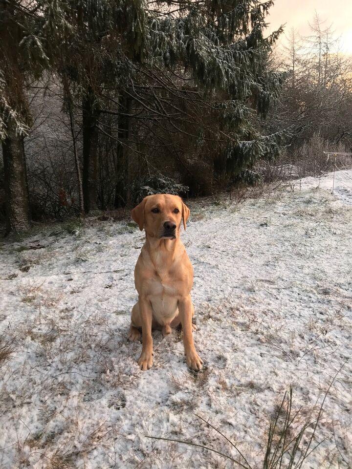 Formel 1 Labrador tilbyder kun AVL , hund, 3 år